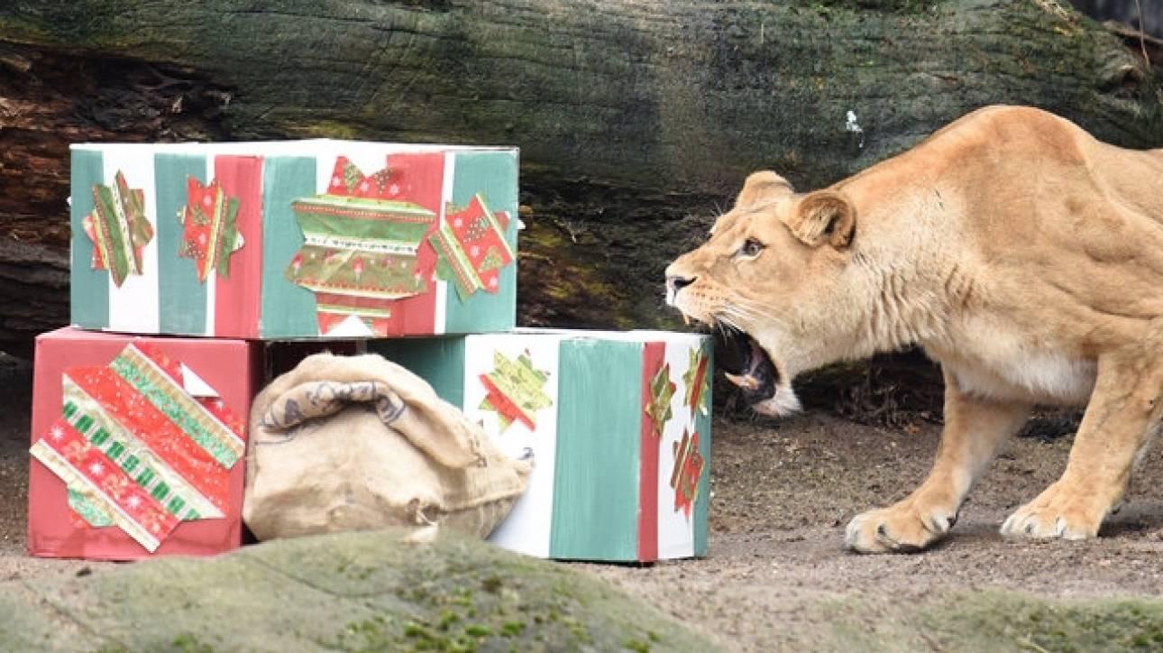 Λιοντάρια ανοίγουν τα χριστουγεννιάτικα δώρα τους (pics)