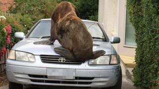 Γιγάντια φώκια αράζει σε καπό αυτοκινήτου στην Τασμανία