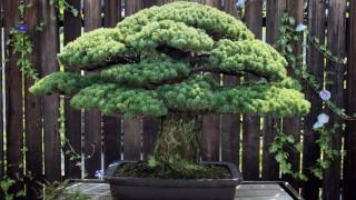 Αυτό το μπονσάι είναι 391 ετών και επιβίωσε από την ατομική βόμβα στην Χιροσίμα