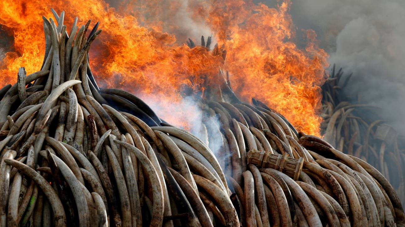 Κίνα: Απαγόρευση κάθε εμπορίας του ελεφαντόδοντου