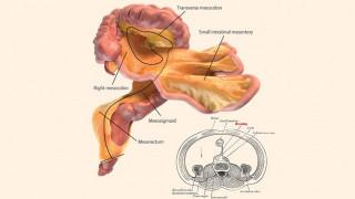 Ανακαλύφθηκε νέο ανθρώπινο όργανο «κρυμμένο» στο πεπτικό σύστημα