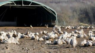 Γαλλία: Θανάτωση χιλιάδων παπιών υπό τον φόβο του ιού της γρίπης των πτηνών