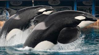 Πέθανε ο Τίλικουμ, η πιο διάσημη φάλαινα - δολοφόνος