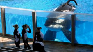 Τίλικουμ: Η τραγική ιστορία μίας φυλακισμένης φάλαινας – δολοφόνου