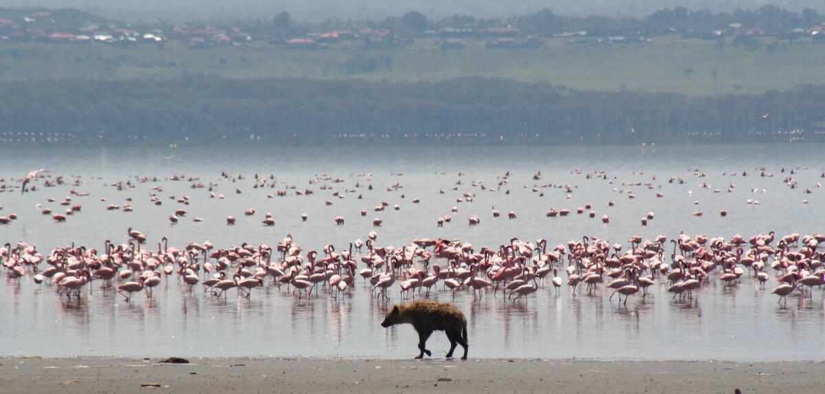Hyena flamingo nakuru