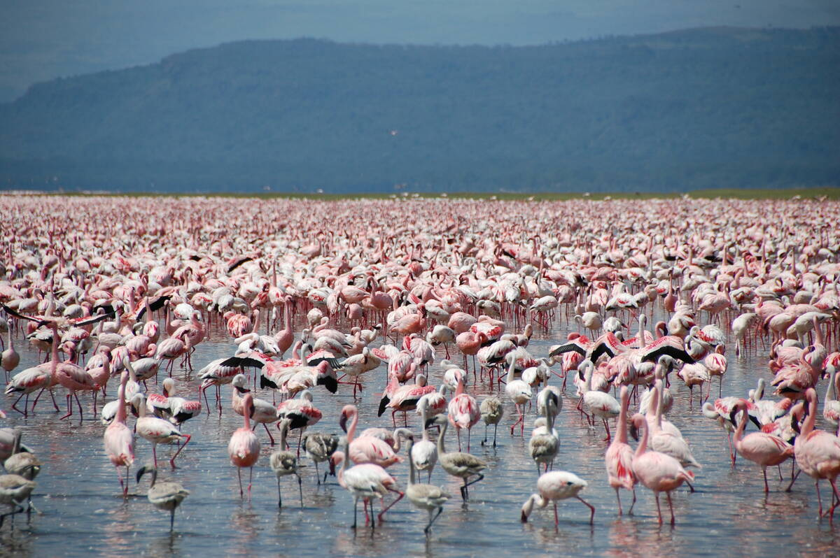 Large number of flamingos at Lake Nakuru