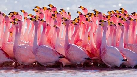 Φλαμίνγκο: Τα… σκληροτράχηλα πουλιά που ζουν εκεί όπου η φύση πεθαίνει