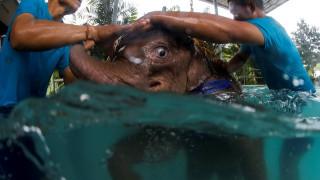 Το ελεφαντάκι που έχασε μέρος του ποδιού του κι ακολουθεί υδροθεραπείες