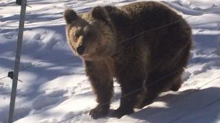 Είδαν χιόνι και πήγαν για ύπνο οι αρκούδες του Αρκτούρου (pics)