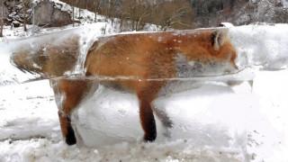 Η απίστευτη φωτογραφία - Αλεπού έγινε «παγάκι» στον Δούναβη