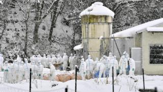 Σφαγιάστηκαν 80.000 πουλερικά στην Ιαπωνία