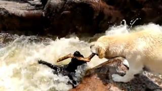 Λαμπραντόρ σώζει τον φίλο του από τα νερά ποταμού (Vid)