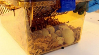 Διαβητικά ποντίκια θεραπεύτηκαν χάρη σε μεταμόσχευση παγκρέατος αρουραίου