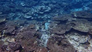 Πεθαίνει o μεγαλύτερος κοραλλιογενής ύφαλος της Ιαπωνίας