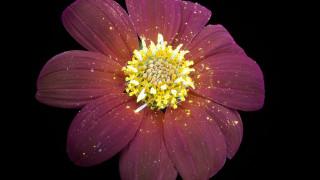 Πώς μυρίζουν τα φωσφορίζοντα λουλούδια του Craig Burrows;