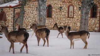 Ζαρκάδια κάνουν τη βόλτα τους χιονισμένο πάρκο του Άγιου Παντελεήμονα της Κοζάνης