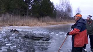 Έσωσαν μια άλκη που είχε παγιδευτεί στον πάγo (Vid)