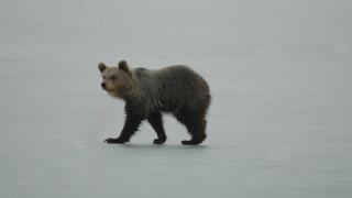 Αρκουδάκι βολτάρει στην παγωμένη λίμνη της Καστοριάς (pics)