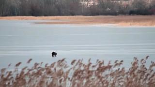 Ο «περίπατος» νεαρής αρκούδας στην παγωμένη λίμνη της Καστοριάς (vid)