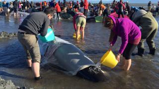Μάχη για να σωθούν φάλαινες που ξεβράστηκαν σε παραλία της Νέας Ζηλανδίας (Pic+Vid)