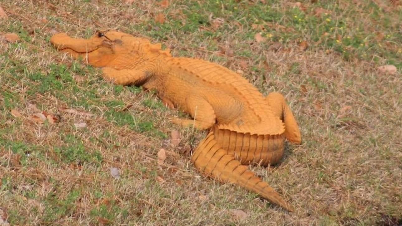 «Trumpagator»: Ο πορτοκαλί αλιγάτορας που έχει αναστατώσει την Νότια Καρολίνα (pic)