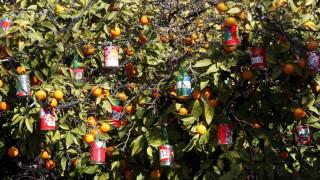 Θεσσαλονίκη: «Ημιθανείς» οι νεραντζιές της πόλης από τον παγετό