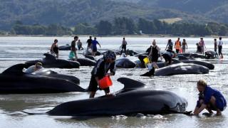 Ακόμα 200 μαυροδέλφινα ξεβράστηκαν στη Νέα Ζηλανδία (vid)