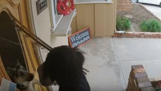Σκύλος σπάει το παράθυρο της εξώπορτας για να προφυλάξει το σπίτι από ντελιβερά (Vid)