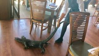 Ατρόμητη σερβιτόρα πετάει έξω από το εστιατόριο έναν αλιγάτορα  (Vid)