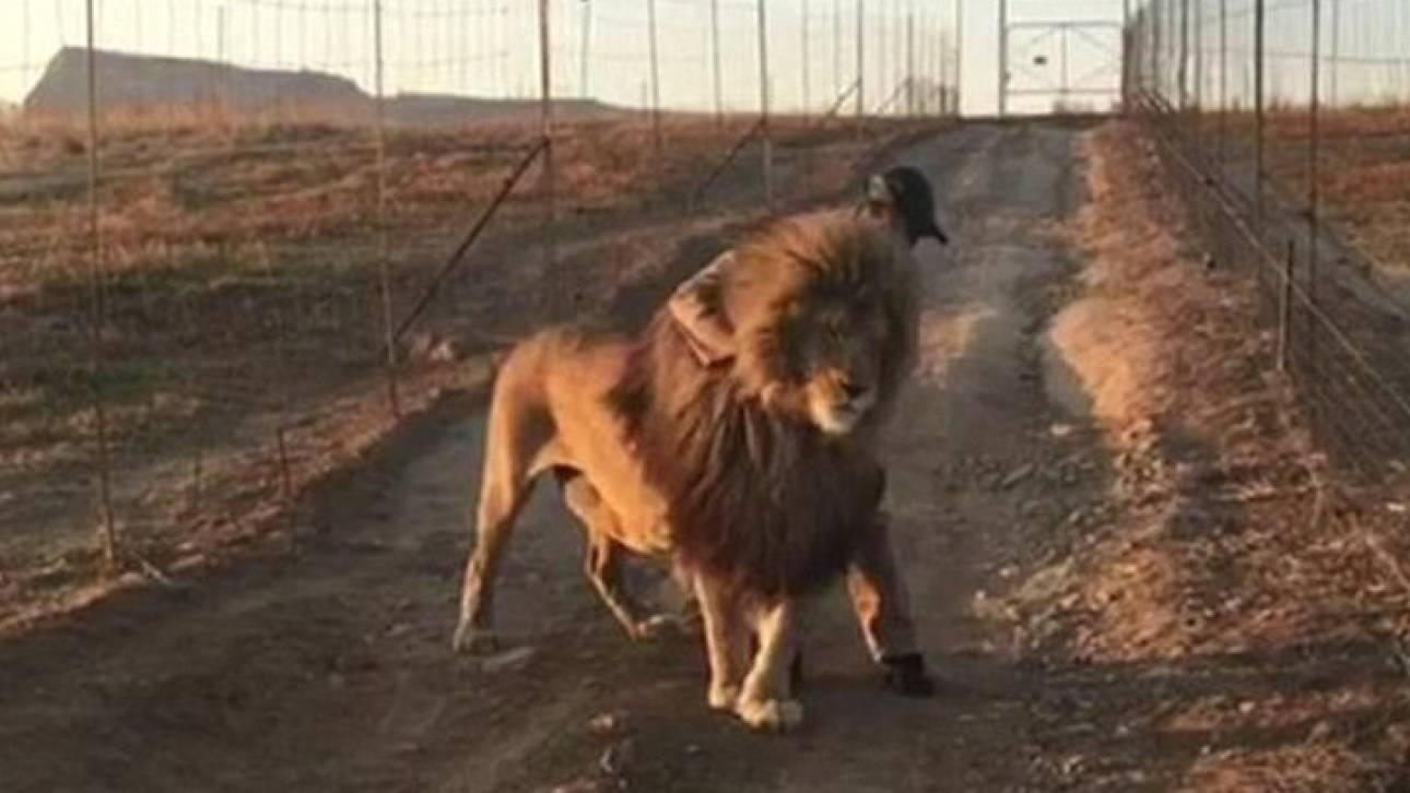 Όταν το λιοντάρι γίνεται ...αρνάκι: Περπατά μόνο όταν το χαϊδεύουν (Vid)