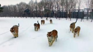 Τίγρεις «καταρρίπτουν» ενοχλητικό drone