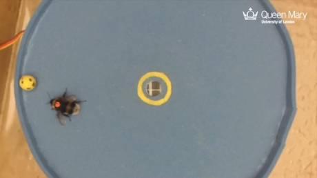 Οι μέλισσες μαθαίνουν ποδόσφαιρο