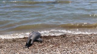 Νεκρό δελφίνι εντοπίστηκε στη Θεσσαλονίκη