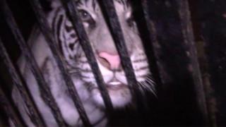 Ρωσία: οδηγός εγκατέλειψε νταλίκα με σπάνιες τίγρεις σε εθνική οδό (Vid)