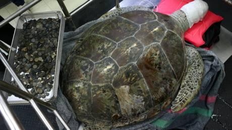 Κτηνίατροι στην Ταϊλάνδη έβγαλαν 915 νομίσματα από το στομάχι μιας θαλάσσιας χελώνας (pics)