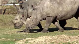 Λαθροκυνηγοί σκότωσαν ρινόκερο σε ζωολογικό κήπο στο Παρίσι (Pic)