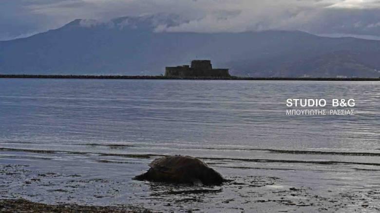 Ναύπλιο: Νεκρή θαλάσσια χελώνα (pics&vid)