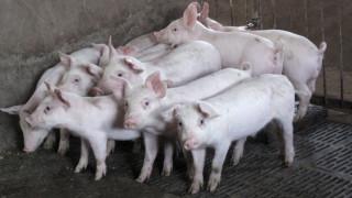ΗΠΑ: Κάηκαν ζωντανά δεκάδες χιλιάδες γουρούνια