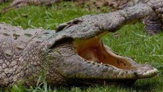 Κροκόδειλος αρπάζει από το κεφάλι εκπαιδευτή σε τσίρκο (Vid)