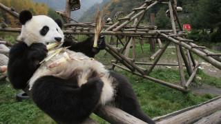 Κίνα: Ένα γιγάντιο πάντα 23 ετών φεύγει από το ζωολογικό κήπο για λόγους υγείας
