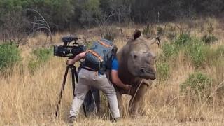 Θηλυκός ρινόκερος πλησιάζει κάμεραμαν γιατί θέλει χάδια (Vid)