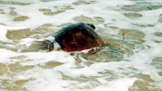 Αποκεφάλισαν δέκα θαλάσσιες χελώνες στην Νάξο - Αναζητούνται οι δράστες