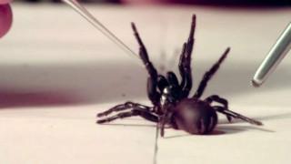 Δηλητήριο θανατηφόρας αράχνης μπορεί να περιορίσει τις βλάβες ενός εγκεφαλικού
