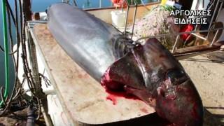 Και δεύτερο καρχαρία έπιασαν στη Νέα Κίο (vid)