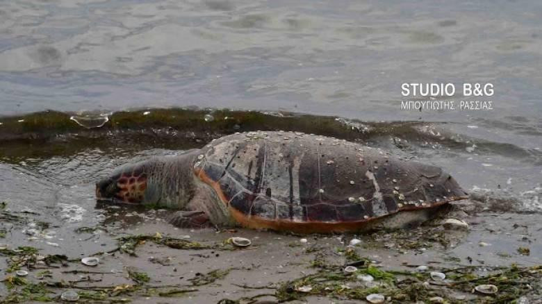 Ακόμη μια χελώνα τραυματισμένη θανάσιμα (pics&vid)