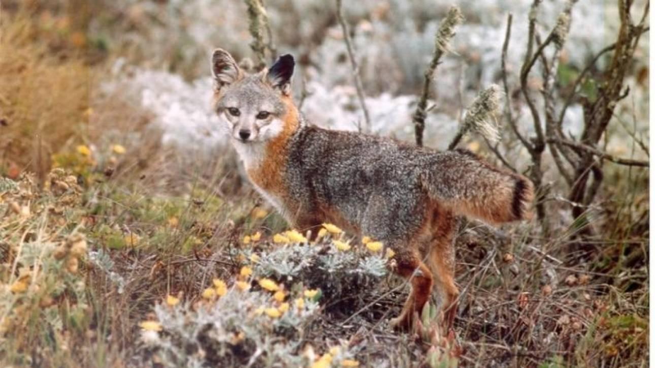 Κανένα κρούσμα λύσσας σε κόκκινη αλεπού
