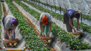 ΕΔΑΔ: Καταδίκη της Ελλάδας για τις «ματωμένες» φράουλες της Μανωλάδας