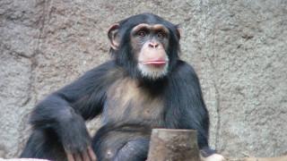 Να γιατί δε πρέπει ποτέ να εκνευρίζεις έναν χιμπατζή (vid)