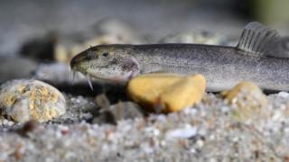 Ψάρι των σπηλαίων στον βυθό της λίμνης της Κωνσταντίας