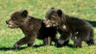 Μαυροβούνιο: Συγκίνηση για δύο ορφανά αρκουδάκια (pics)